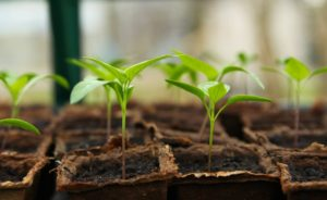semis de plantes